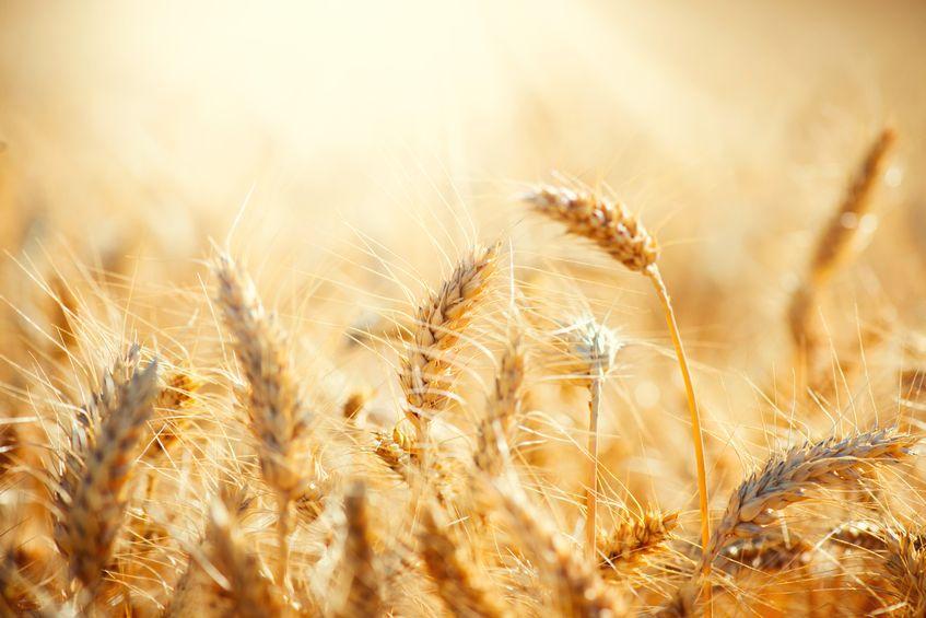 Wheat Terrorism?  Listen to this on NPR . . .